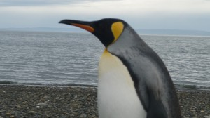 Punta Arenas - king penguin male