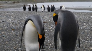 Punta Arenas - king penguins couple